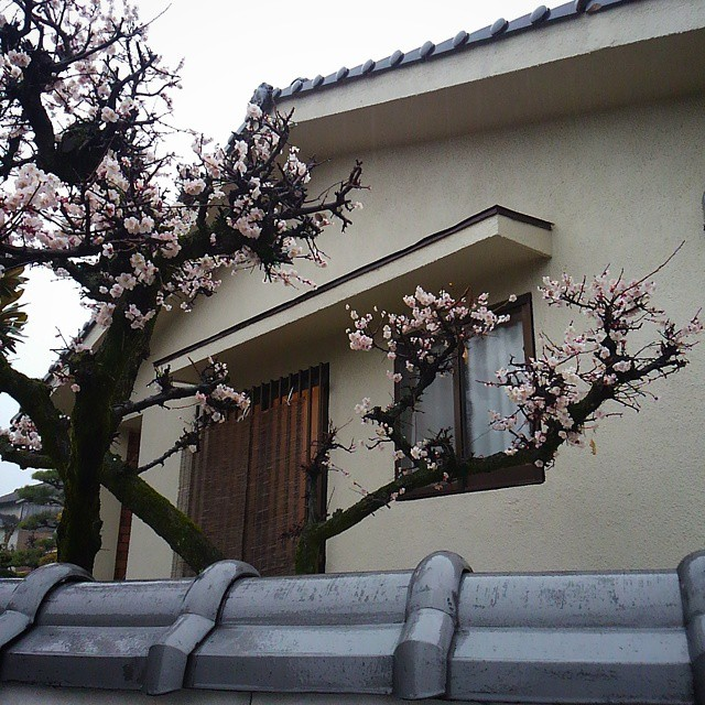 The grand prize winner for dramatic and gnarled plum blossoms goes to...